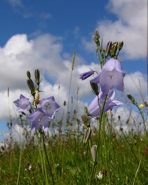 Bluebells on open pasture