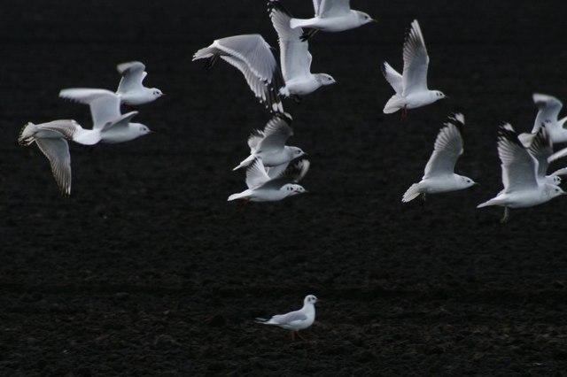 Gulls and black earth, Altcar Moss