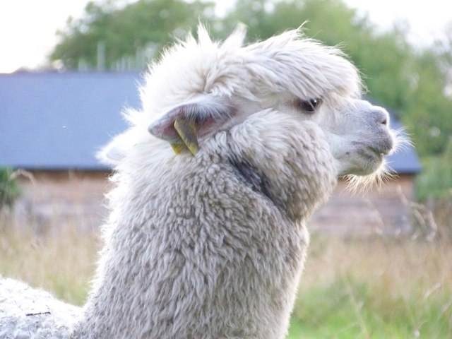 A very cross Alpaca