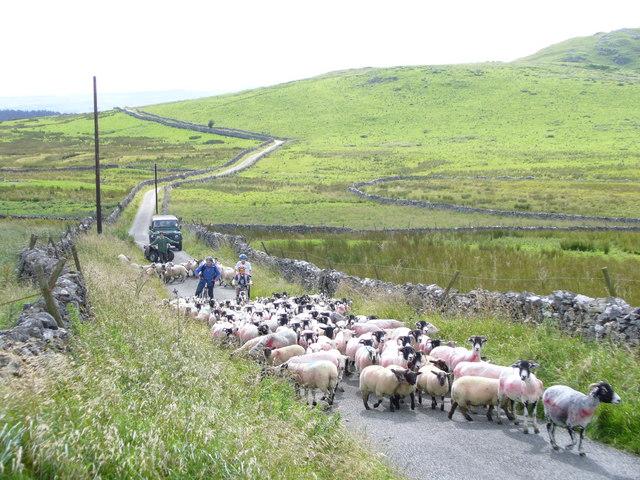 Sheep on Stockdale Lane