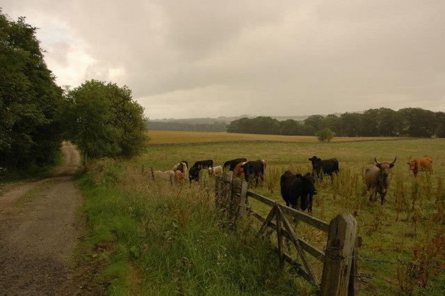Cows in the rain
