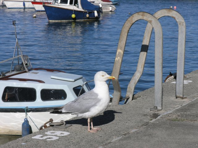 Seagull at Saundersfoot harbour