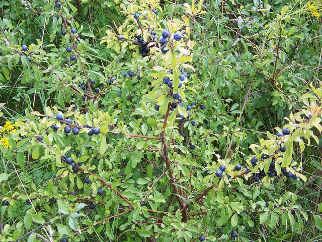 The makings for Sloe Gin