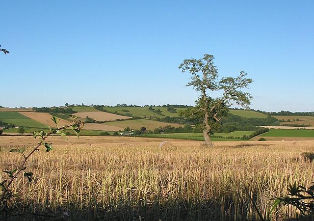Lone oak in field of stubble.