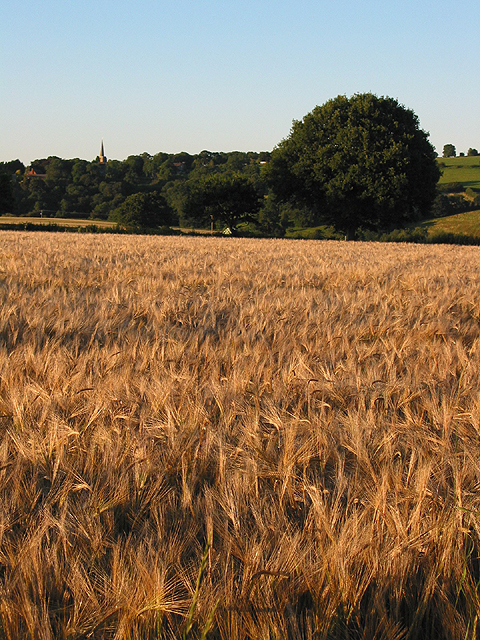Barley crop, ready for harvesting