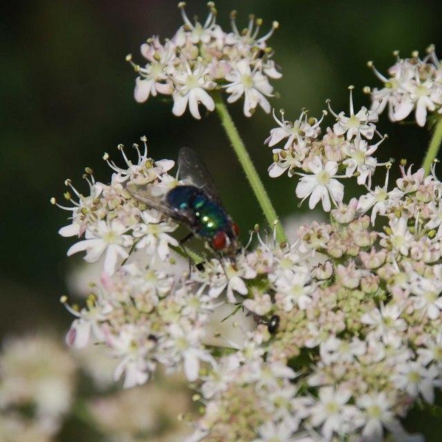 Cleren ar flodyn - A fly on a flower