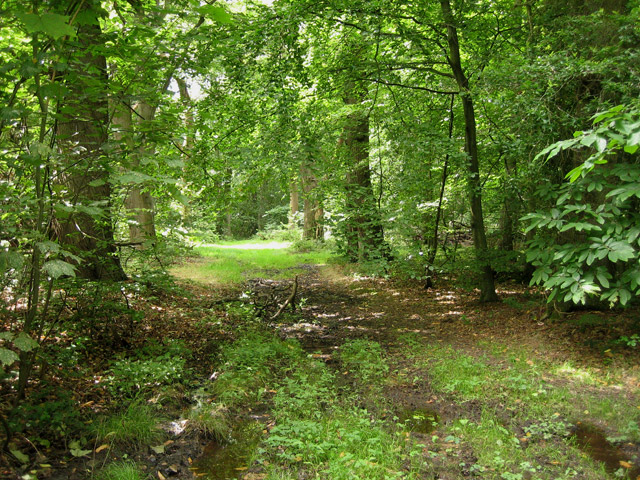 Felbrigg Park Great Wood: inviting but just a little swampy