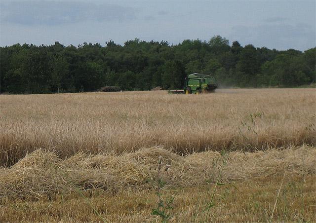 Combining barley near Gunton Park woods