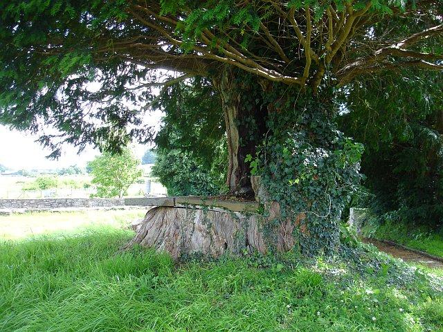 Yew tree seat