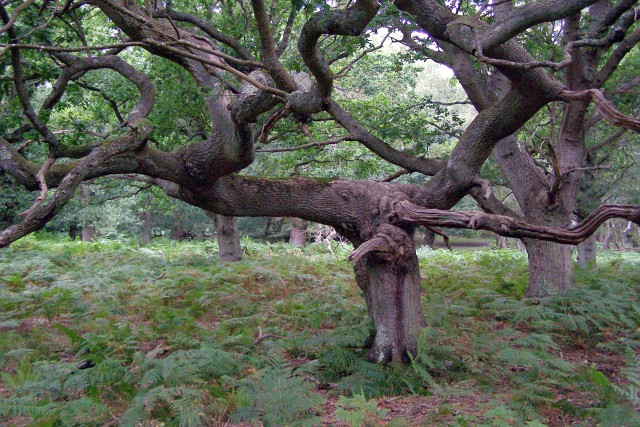 T-shaped oak, near Woodfidley, New Forest