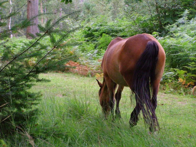Grazing pony, Frame Heath Inclosure, New Forest