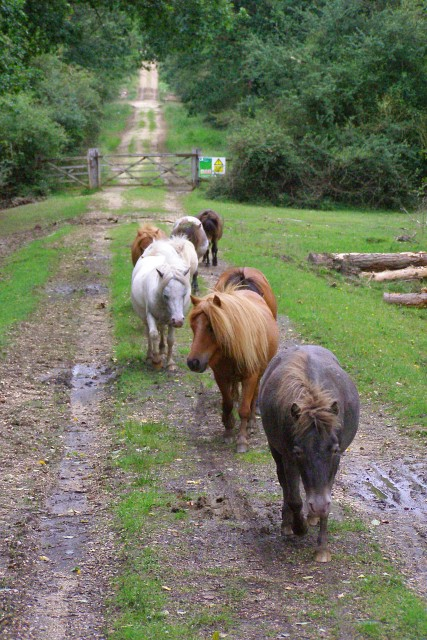 Miniature ponies on track south of Denny Lodge Inclosure, New Forest