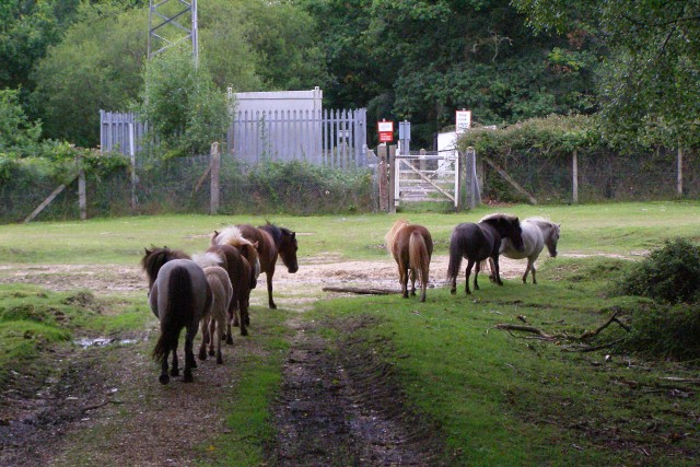Miniature ponies near Woodfidley level crossing, New Forest
