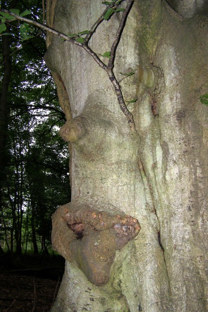 Beech tree trunk simulacrum, Woodfidley, New Forest