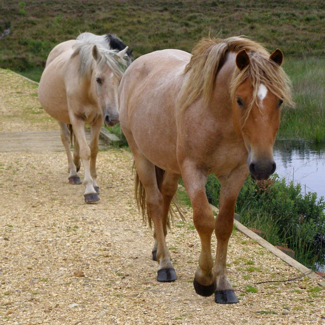 Ponies on the causeway, Shatter Ford, New Forest