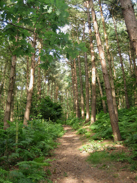 Path through the pines at Lower Street, Southrepps