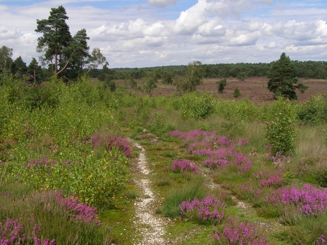 Bell heather and birch scrub, East Ramsdown