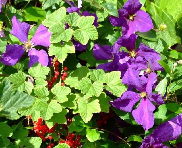 Clematis with Redcurrants