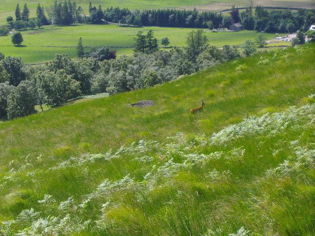 A solitary deer