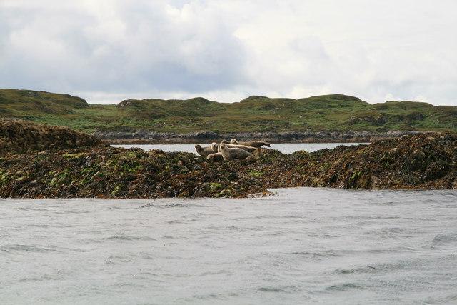 Seals on Arisaig Skerries