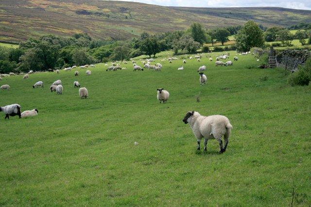 Sheep Pasture, Commondale