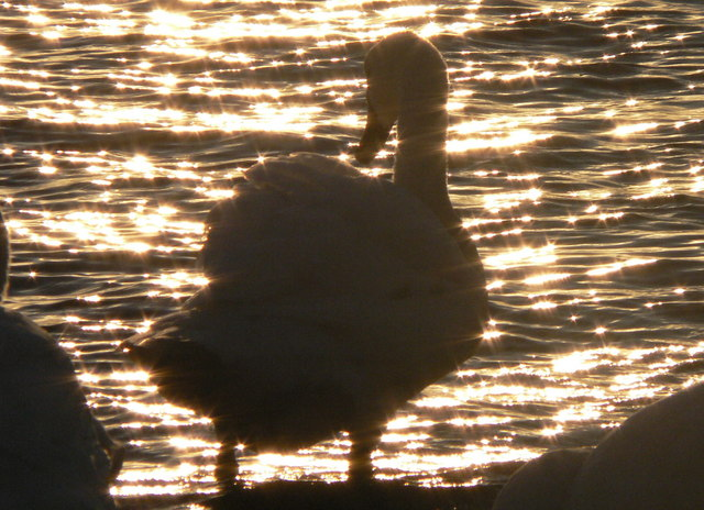 The harbour glistens around a swan at sunset