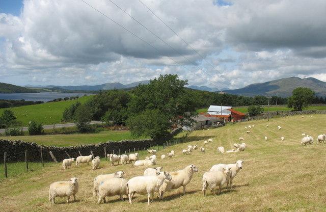 Sheep at Llain Wen Farm
