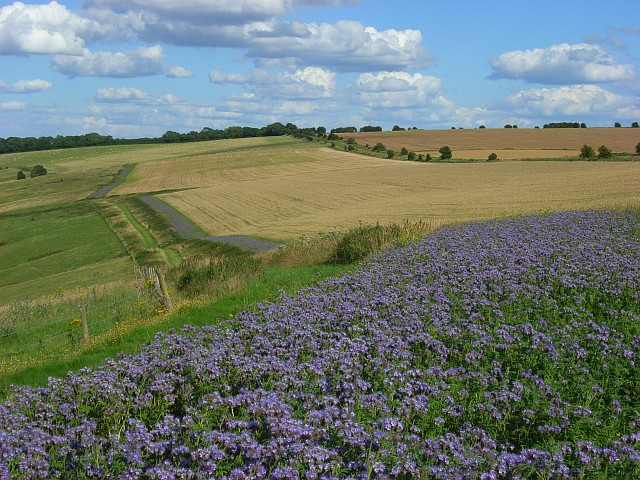 Wheat and Phacelia on the downs above Letcombe Bassett