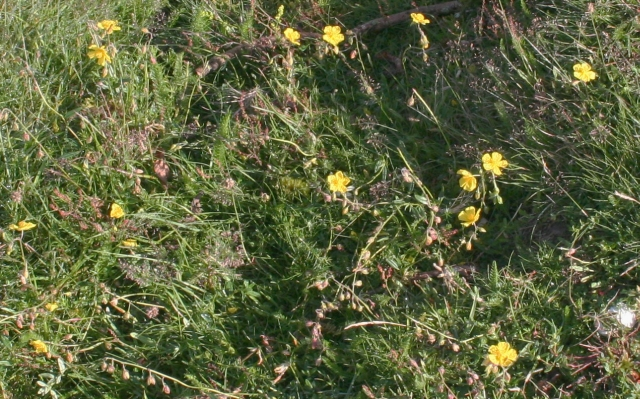 A Concentration of Rock-Roses near Hangmans Hill