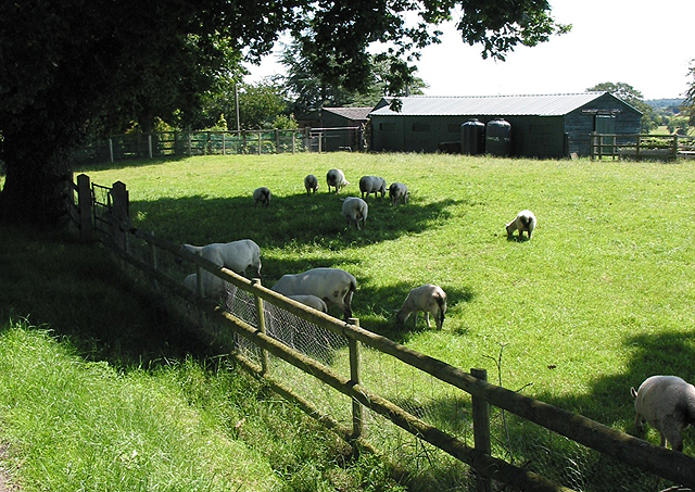 Sheep seeking shade