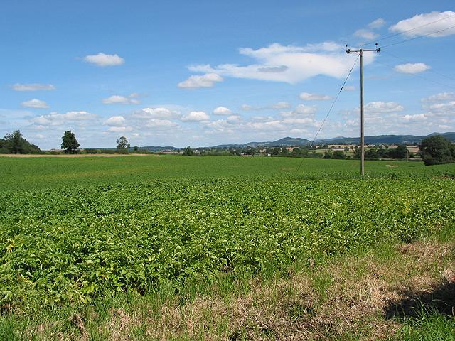 Potato crop nr Tillers' Green