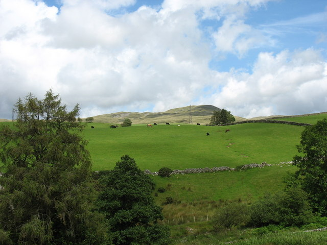 Cattle grazing on the Llwyn Crwn side of Nant Islyn