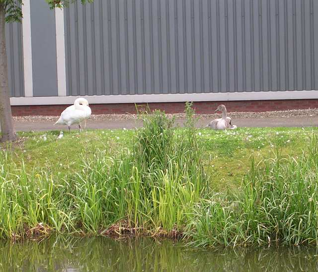Swan & Cygnet - Bank of Leeds and Liverpool Canal