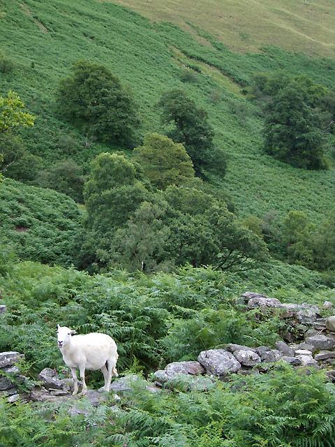 Lonely Sheep on Ty Unnos Ruin, Cwm Doethie, Ceredigion