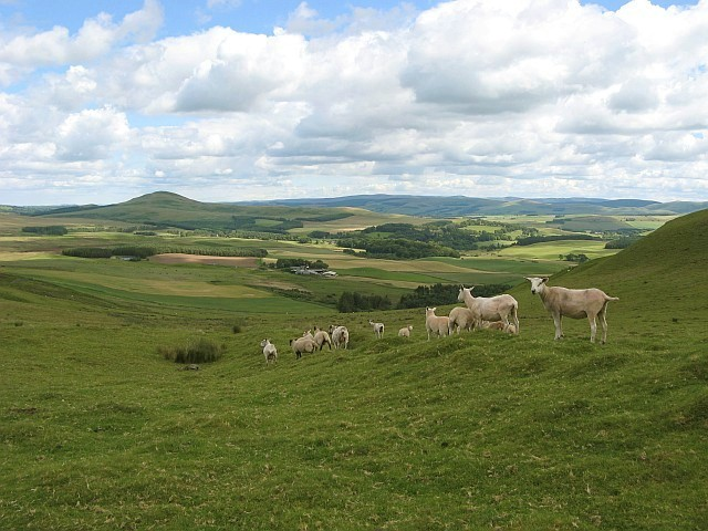 Shorn sheep on Dunsyre Hill