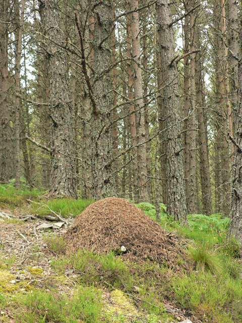 Wood ant nest