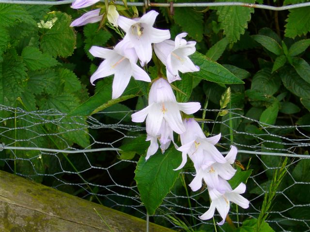 Great Northern Bellflower at Rod Box Wood