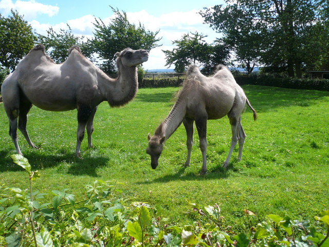 Camels at Twycross Zoo