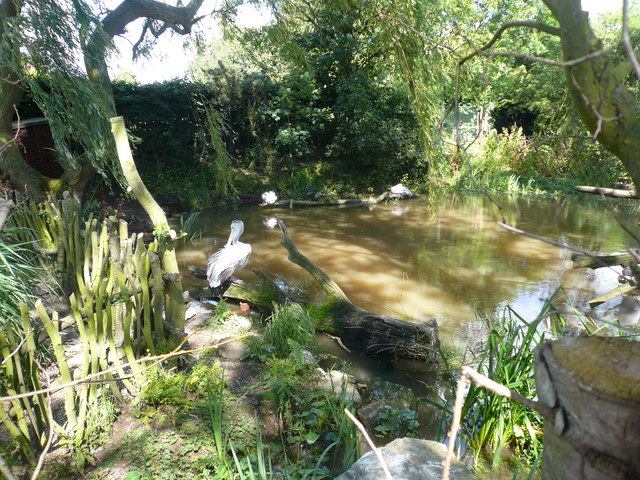 Twycross Zoo - Pelicans