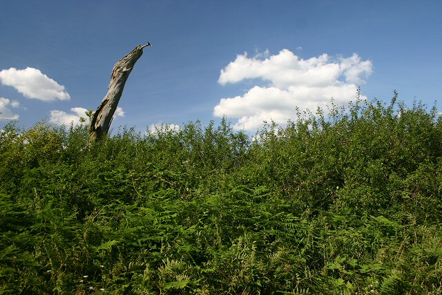 Dead tree and hedgerow