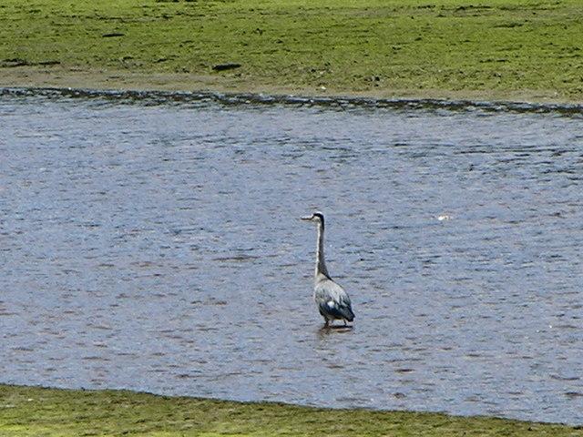Grey Heron Mawddach Estuary