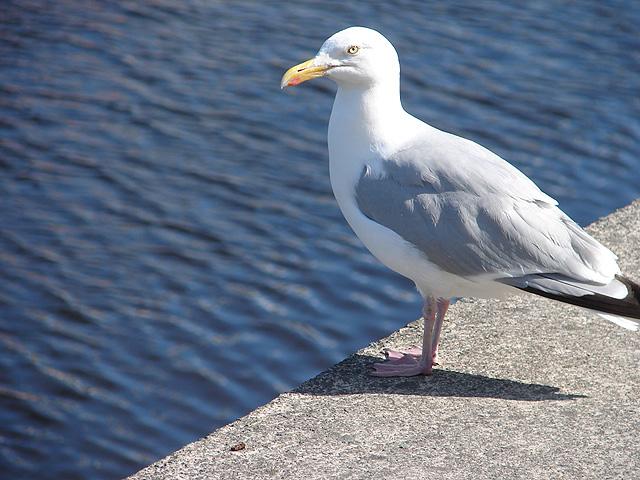 Gull on Aberystwyth Quayside