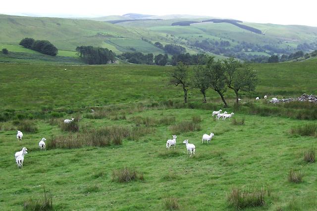 Elenydd Landscape with Sheep, Ceredigion