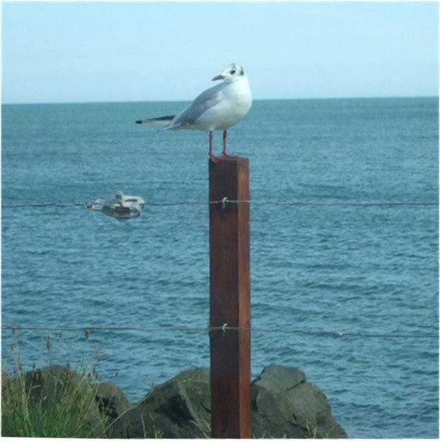 Common Black-headed Gull