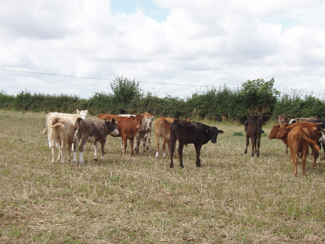 Cattle helping make downland from arable land