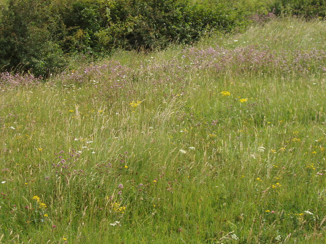 Chalk downland grasses and flowers