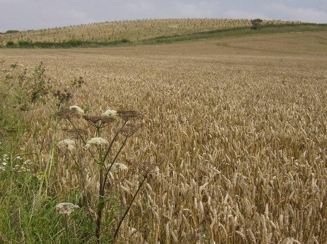 Wheat ripening