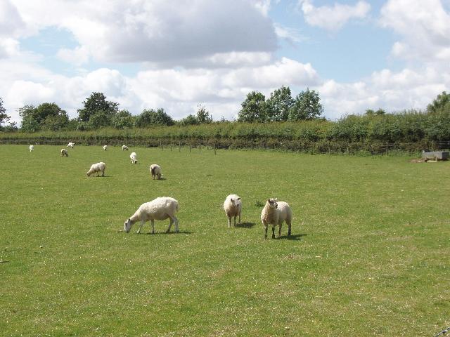Sheep by Lower Vicar's Farm