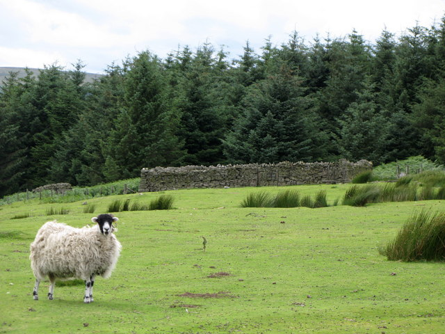 Sheepfold, sheep and Middle Plantation