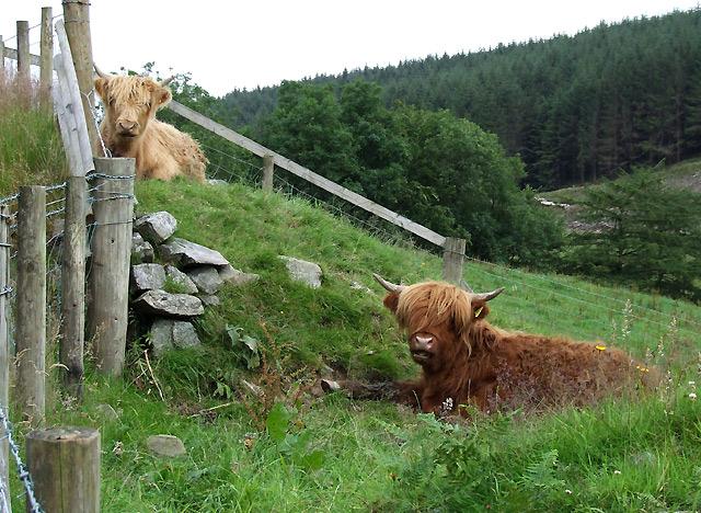 Highland cattle at Cwm Dulas, Cwm Brefi, Ceredigion